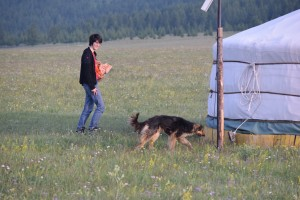 Cost of Rabies vaccine needs to be offset against the stress of being bitten e.g. photo Dog wandering amongst the Gers during my recent trip to Mongolia