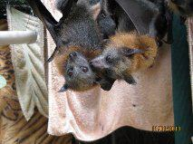 Rabies Vaccination is needed before you handle bats